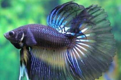 Inilah Cara Mudah Ternak Ikan Cupang Untuk Pemula yang Wajib Diketahui