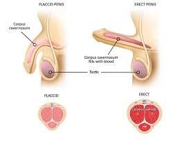 trichomoniasis pénisz