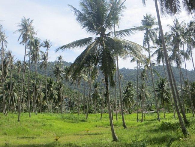 Поля пальм на фоне гор