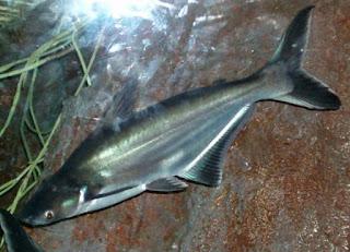 kebiasaan hidup ikan patin