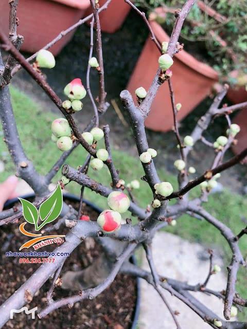 Chọn cây cảnh ngày tết thế nào cho may mắn cả năm Mai-do-khanh-vo
