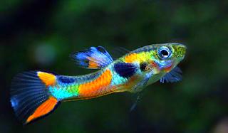 Gambar Ikan Endlers Livebearer