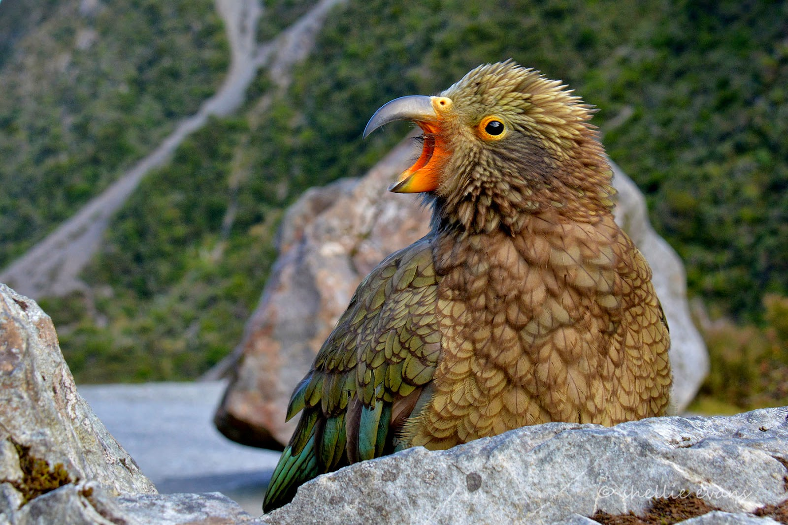 Images of Kea Parrot Spiritual Meaning - #rock-cafe