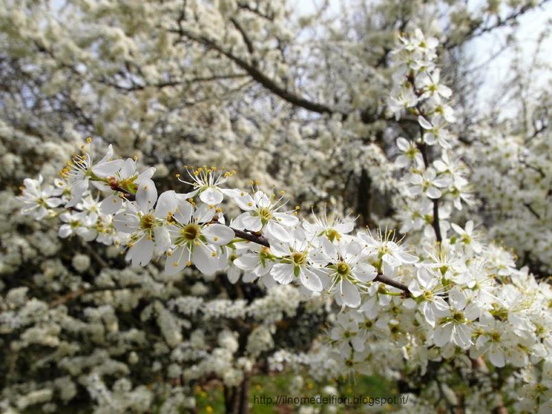 http://ilnomedeifiori.blogspot.it/2014/04/albero-pieno-fiori-bianchi-prugnolo.html