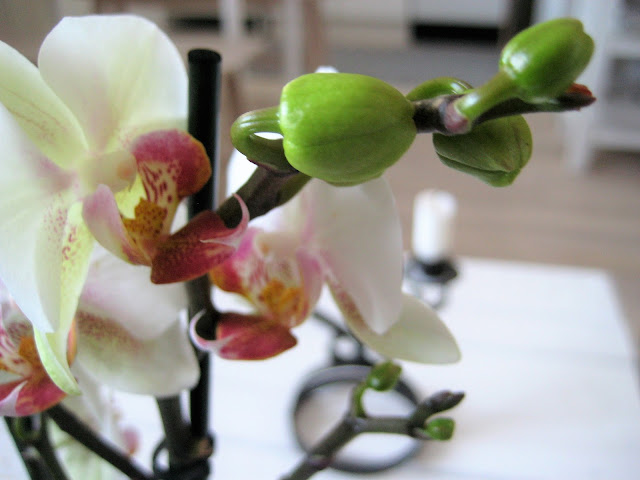orgidea, kukka, koti