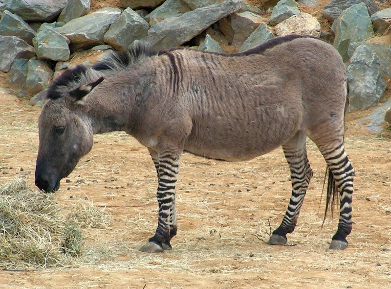 Image of a zonkey, a type of zebroid