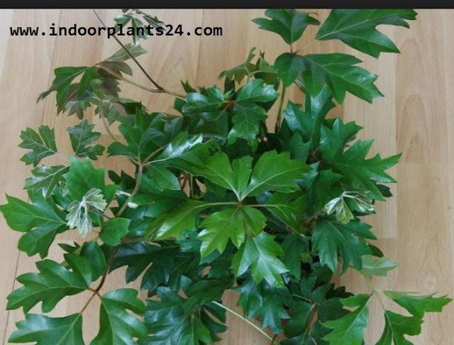 Vitadacae KANGAROO VINE Indoor Plant PICTURE