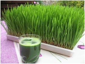 Sangat mudah cara menanam Wheatgrass (Rumput Gandum)