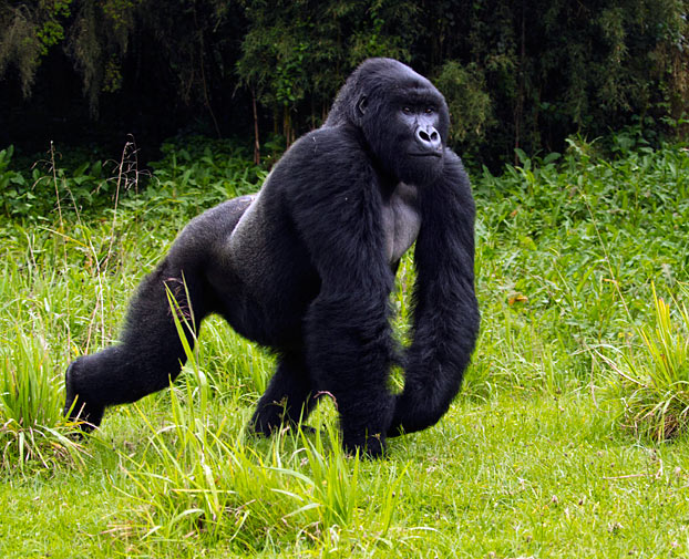 All About Animal Wildlife: Gorilla Animal Information And