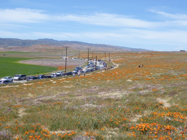 Parked cars Antelope Valley wildflower bloom