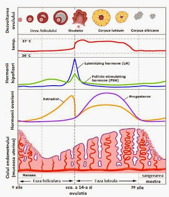 ciclu menstrual