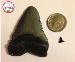 Here's a size comparison of a couple of our shark teeth!