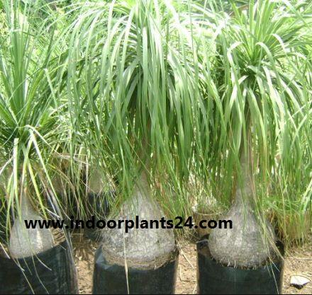 beaucarnea%2Brecurvata%2Bhouse%2Bplant Beaucarnea Recurvata House Plant on