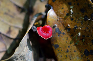 red fungus in Puriscal