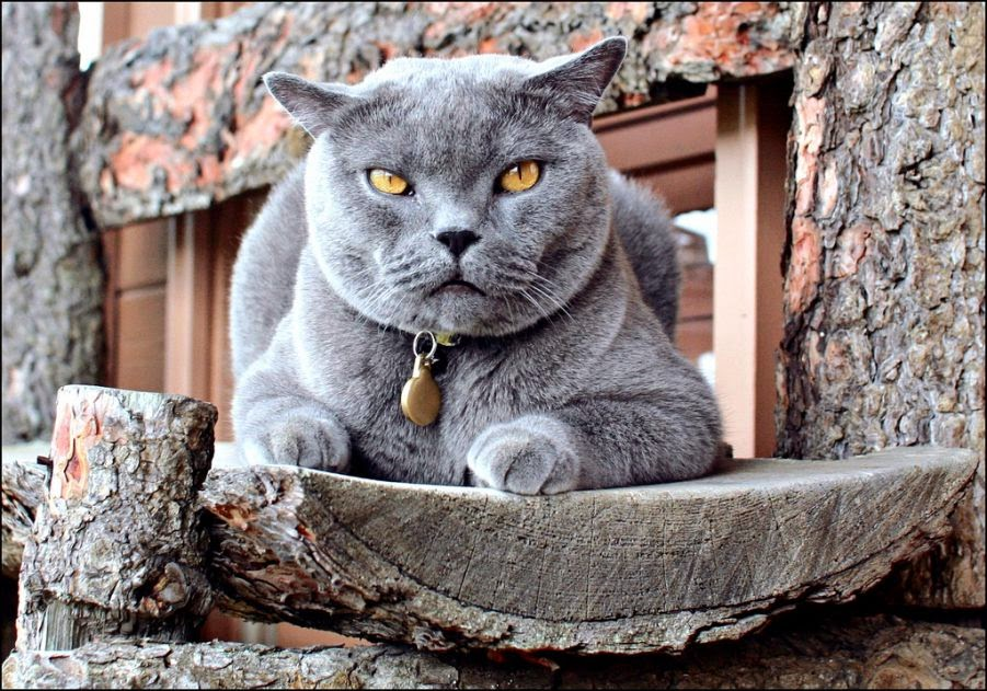 British Shorthair Cat Calvin