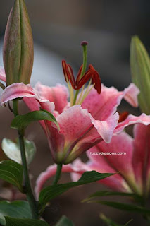 Stargazer Lilies Photo