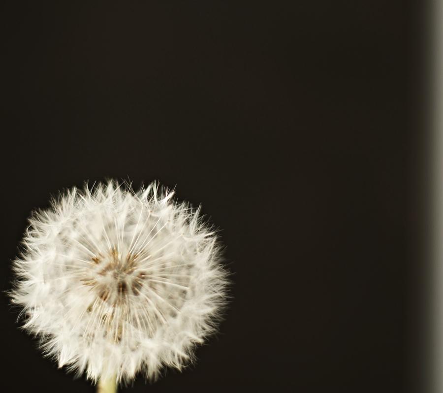 Blog + Fotografie by it's me! - fim.works - Pusteblume vor schwarzem Hintergrund