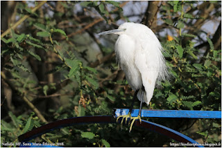 https://bioclicetphotos.blogspot.fr/search/label/Aigrette%20garzette%20-%20Egretta%20garzetta%20%28ETP%29