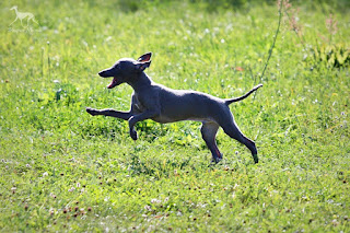 Italian Greyhound Sighthound puppies for sale