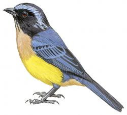 Carriker's Mountain-tanager