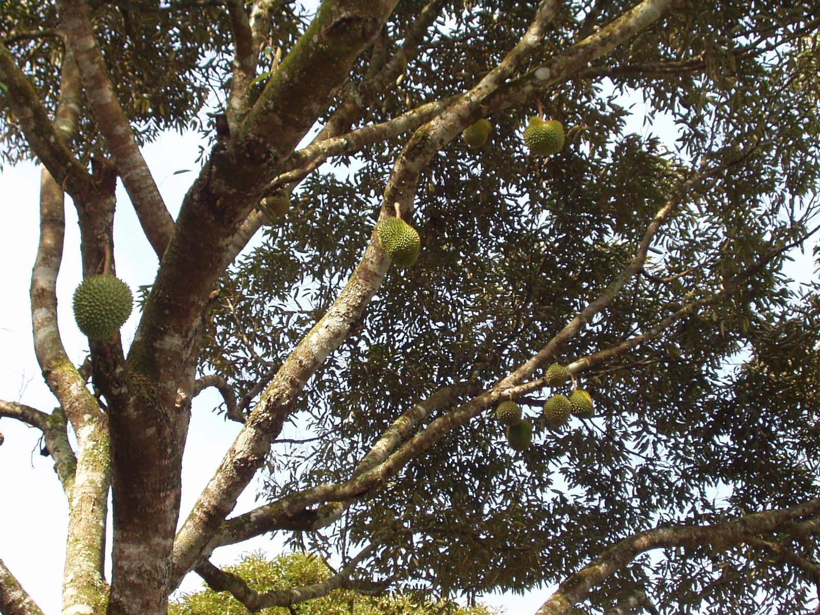 生活修行: 榴槤(Durian)吃過了,看過榴槤花苞及榴槤樹嗎?