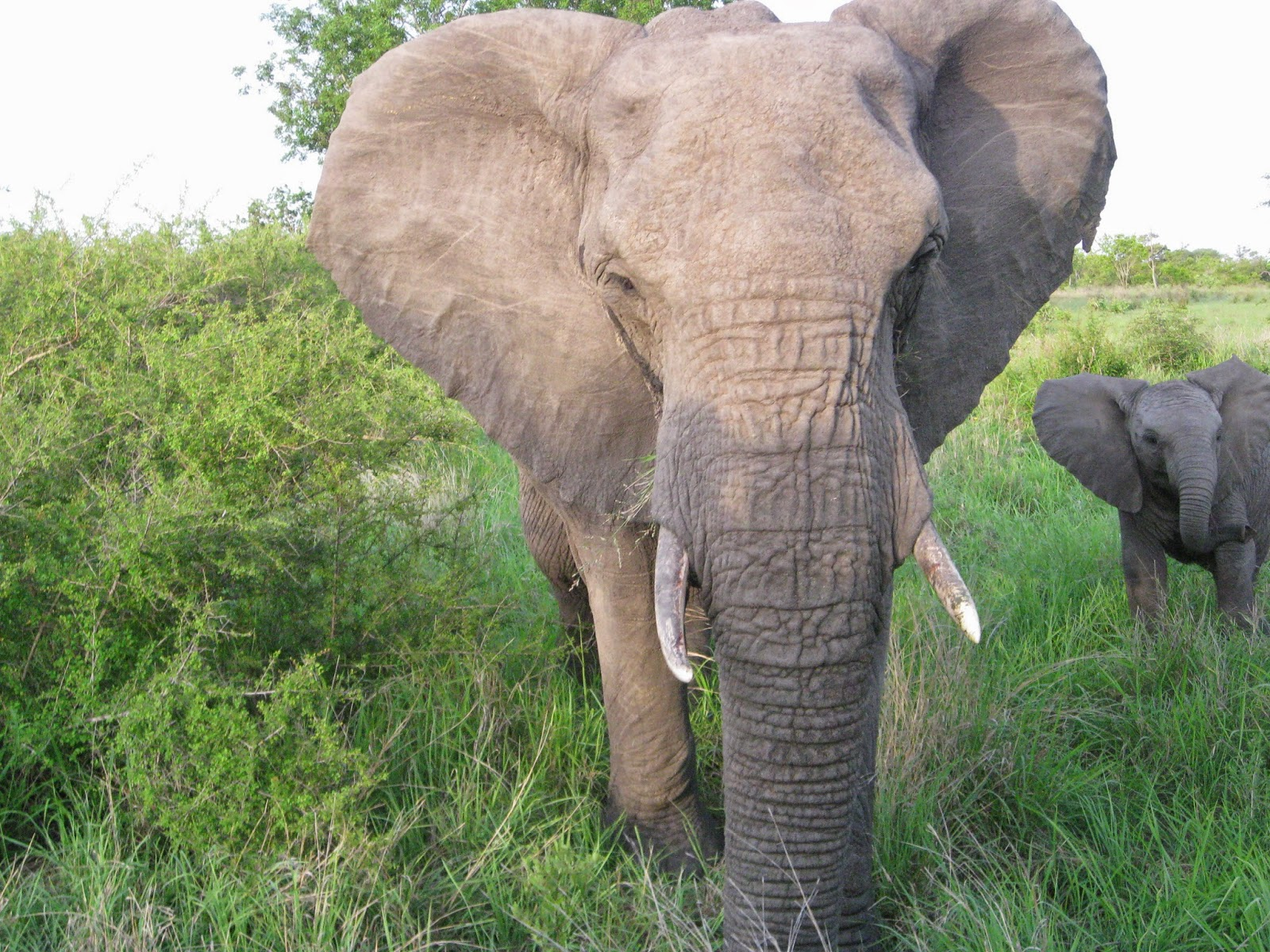 Sabi Sands - The bull elephant gets between us to protect the baby