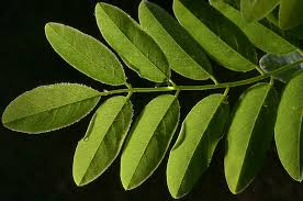 Benefit Of Acaica Tree On Sickle Cell Disease