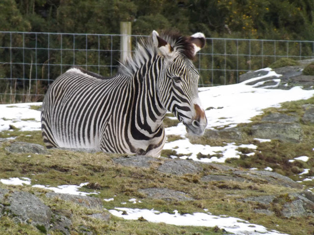 A zebra in the snow