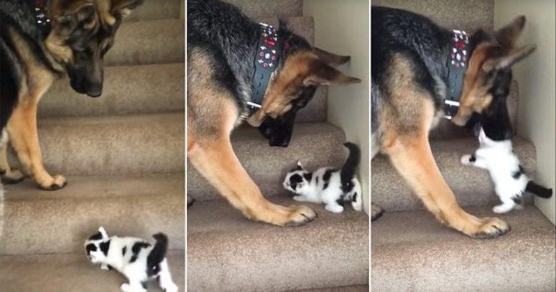 Σκύλος βοηθάει γατάκι να ανέβει τις σκάλες του σπιτιού! (βίντεο)