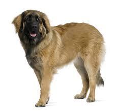 Anjing Ras Leonberger