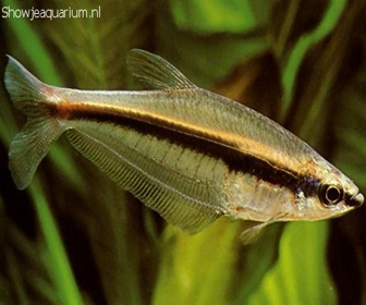 Barred glass tetra, Phenagoniates macrolepis