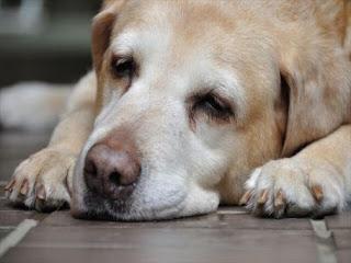 cães idosos e tratamentos