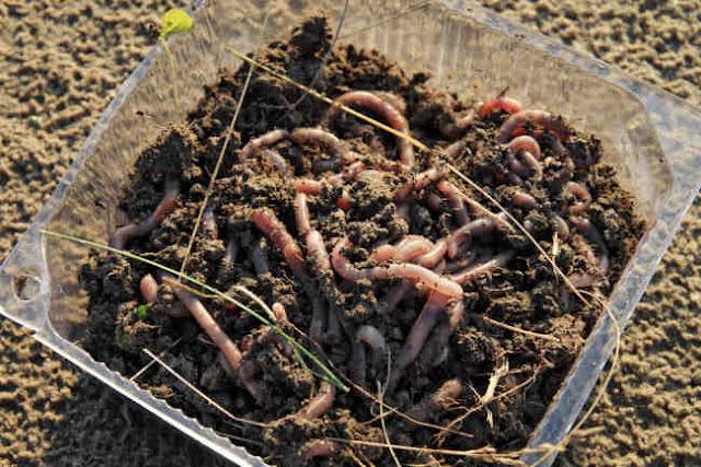 Cacing Tanah Sebagai Indikator Polusi dan Sekaligus Obat Alami