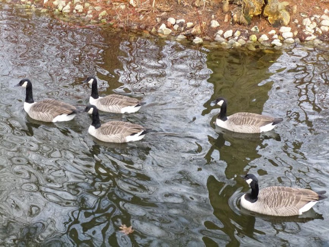 Canada geese swimming on the lake at Kew Gardens