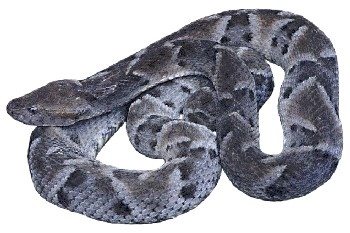 Cobra-Caiçara (Bothrops moojeni)