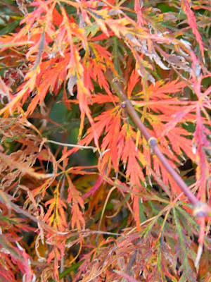 Acer palmatum var. dissectum Green Hornet Japanese maple Toronto Botanical Garden by garden muses-not another Toronto gardening blog