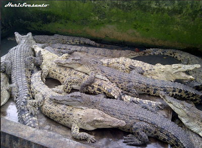 Breeding Crocodiles - Asam Kumbang1