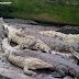 Breeding Crocodiles - Asam Kumbang, North Sumatera