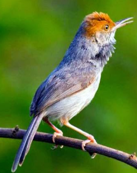 Cara Memelihara Burung Prenjak Yang Baik Dan Perawatannya Den Family