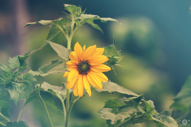 A peice of summer, sun flower, flower, photography, shashank mittal photography, shashank mittal, photography, shashank, spring flower, summer flower