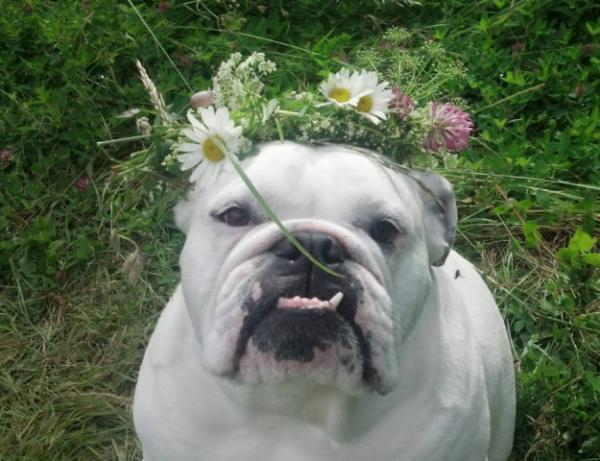 18 bộ mặt thật hèn nhát của những chú chó Bull tội nghiệp