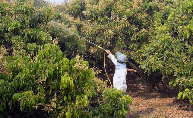 cara mencegah bunga kelengkeng rontok