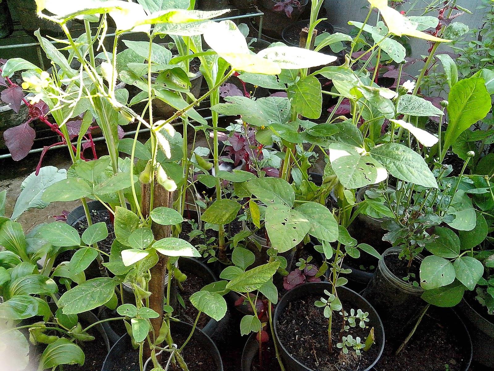 Urban Farming for Food: Beans: Edamame/Soy Beans (毛豆) |Edamame Flower