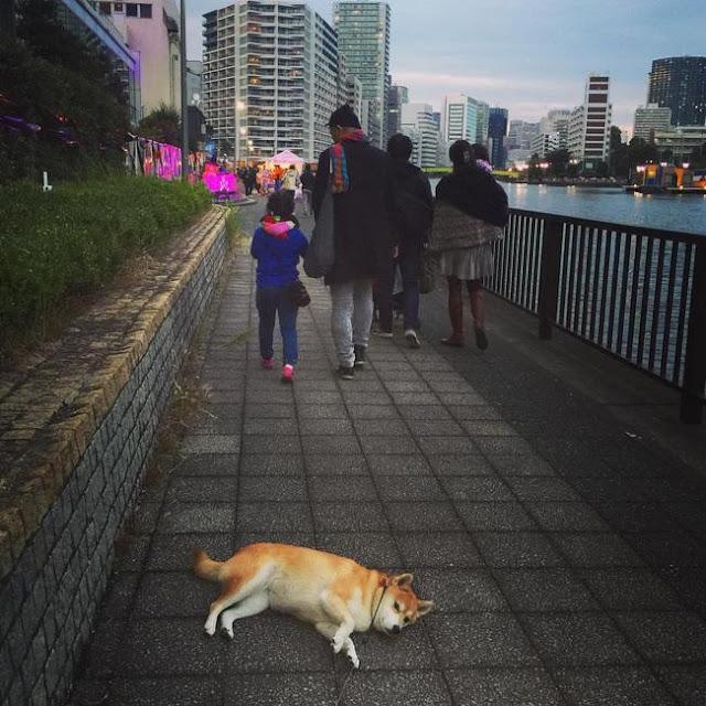 """Nàng chó Shiba """"bạ đâu nằm đấy"""""""