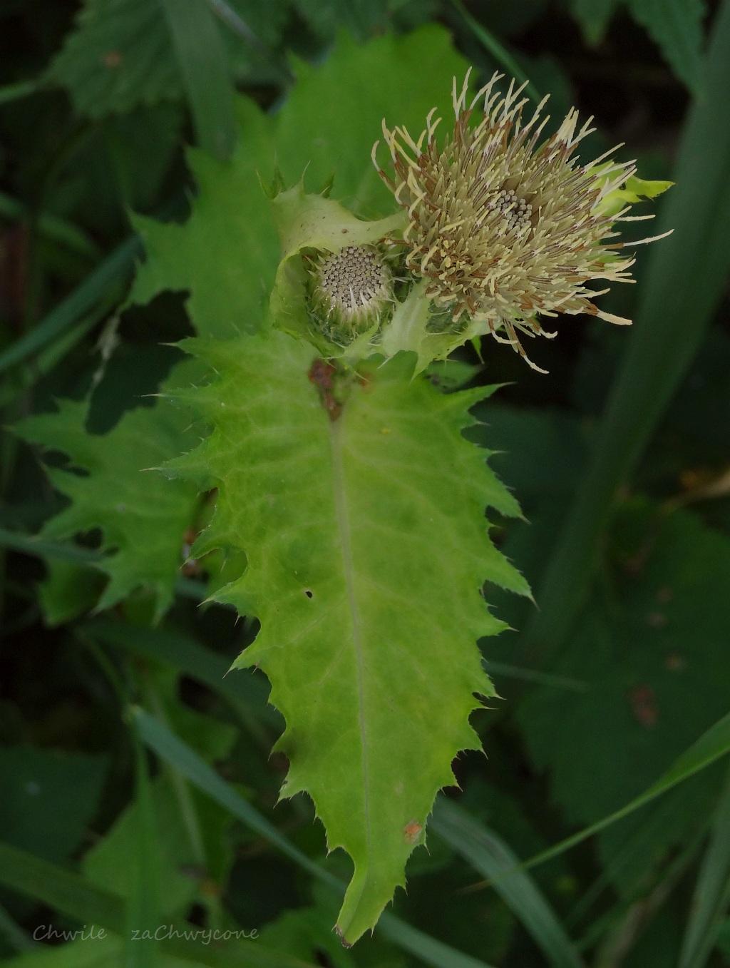 Ostrożeń warzywny Cirsium oleraceum, czarcie żebro opis zdjęcia