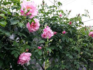 バラの開花状況 2