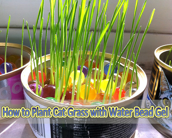 How To Plant Soil Free Cat Grass With Water Bead Gel Meow Cat Com