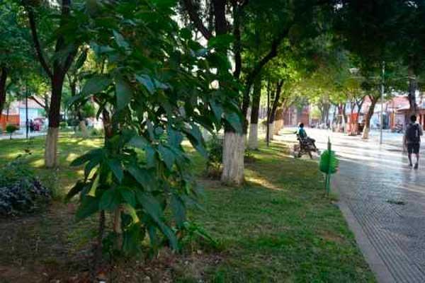 Floripondio, droga que pasa desapercibida en Tarija