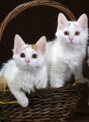 En Güzel Kedi Cinsleri