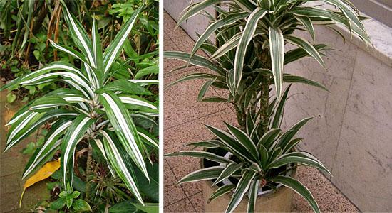 Plantas para purificar o ar - Dracena - Dracaena deremensis